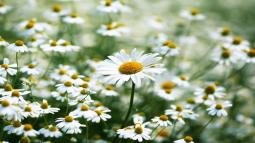 white-daisy-field-summer-flower-facebook-timeline-cover1366x76866497.jpg